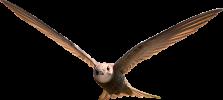 Swift_adult_bird